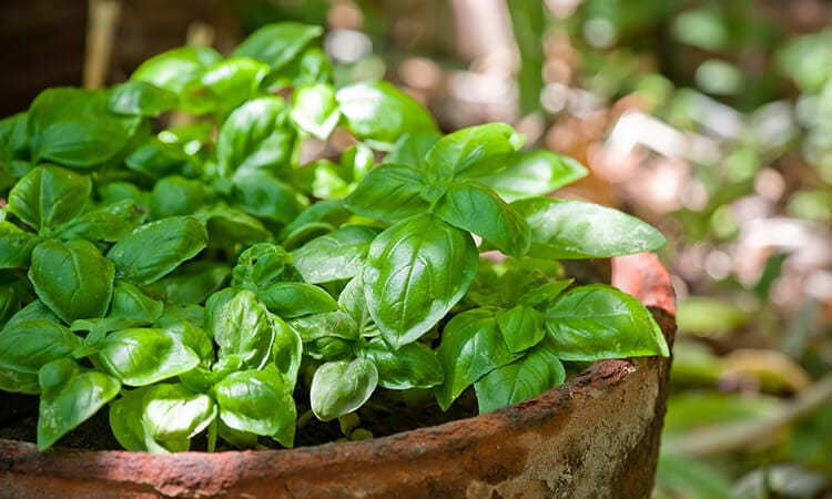 How To Grow Basil In A Pot: A Step-By-Step Guide